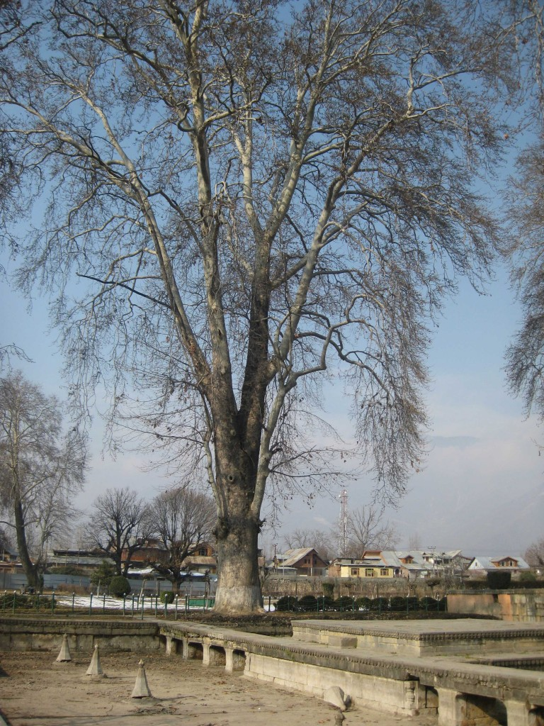 Shalimar Bagh Srinagar fir tree