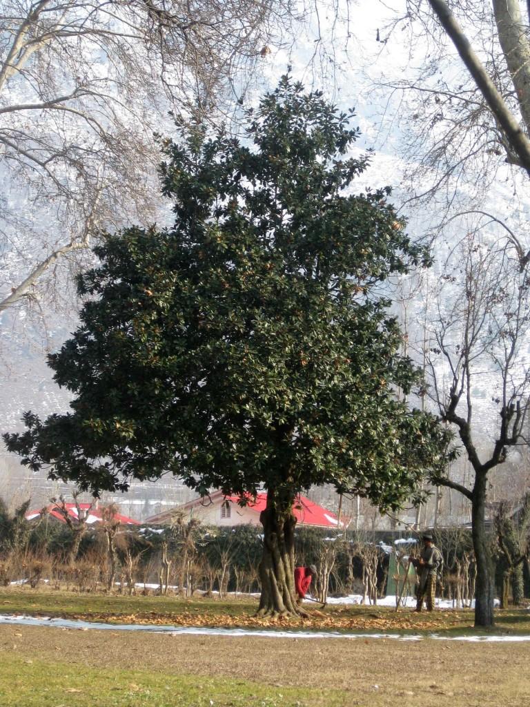 Shalimar Bagh Srinagar chinar tree