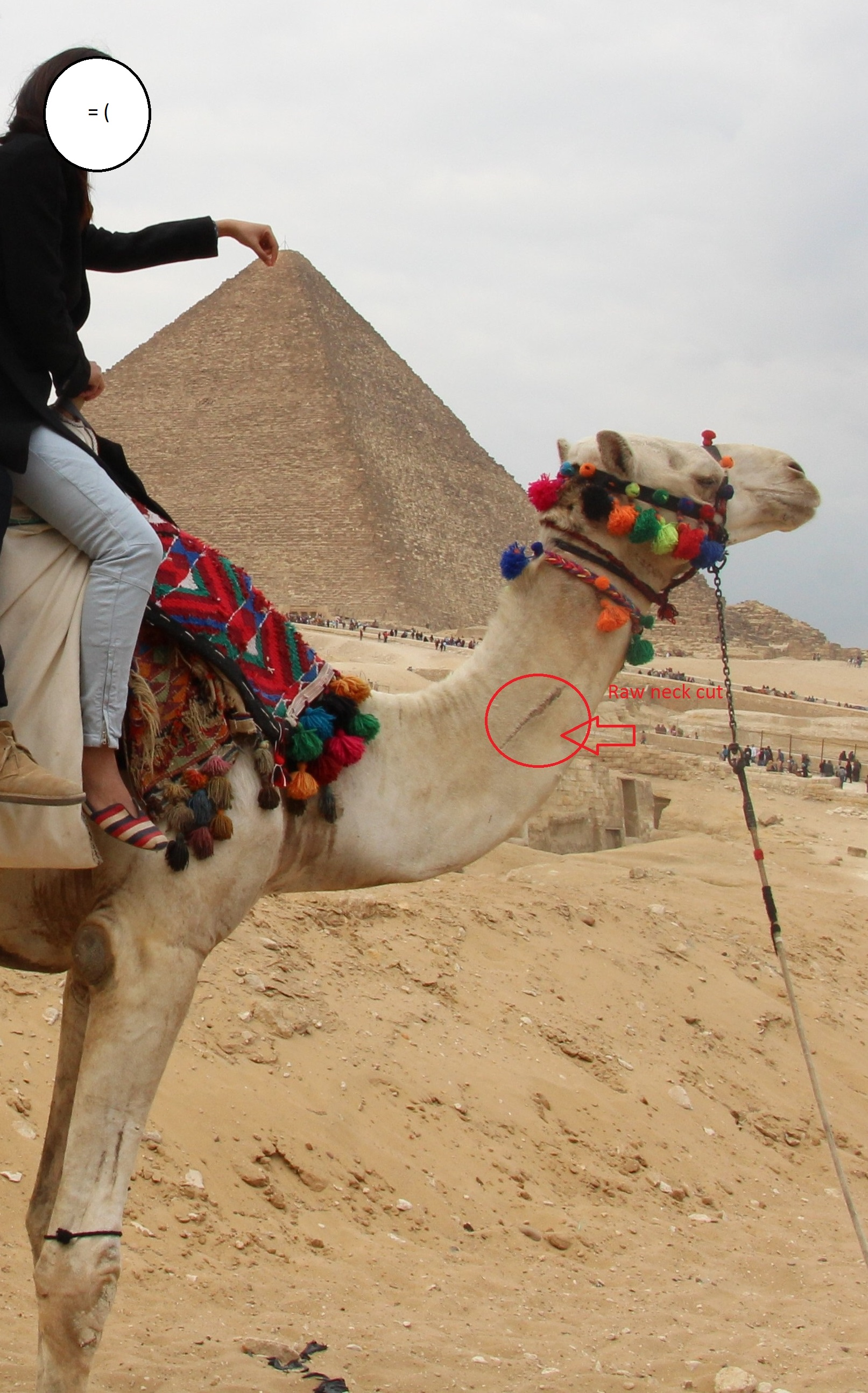 Ill treatment of camels at the Pyramids