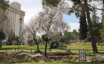 white cherry blossom israel