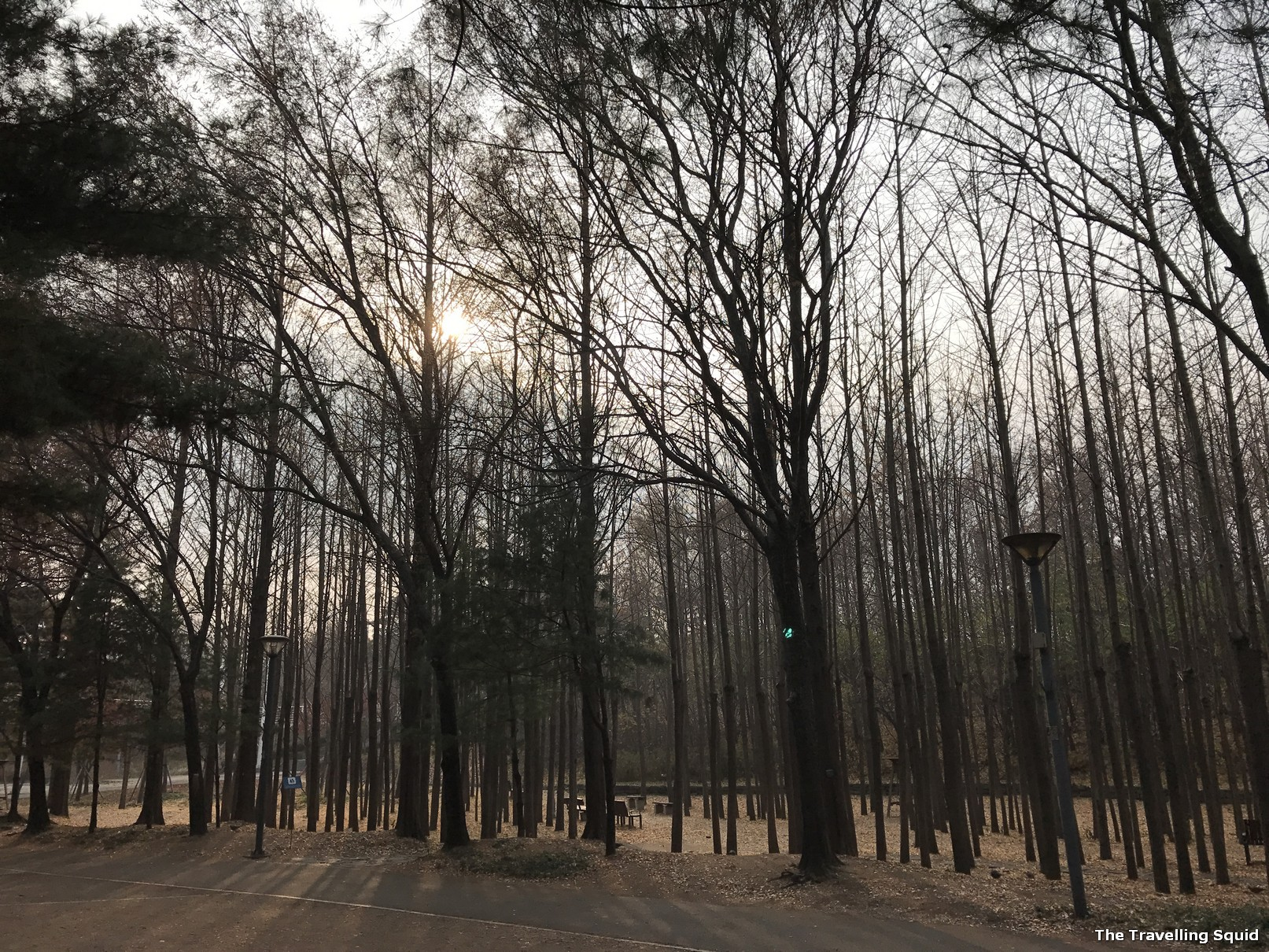 seoul forest ginko trees