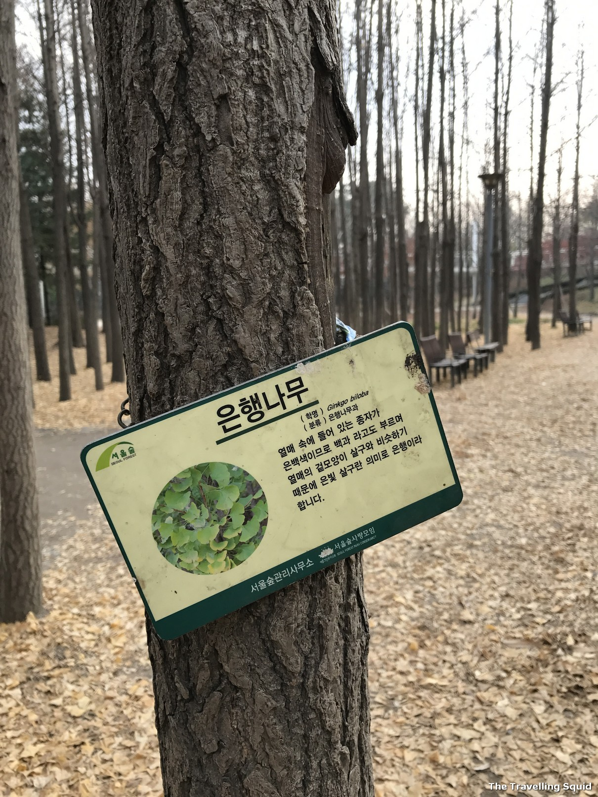 Ginkgo Trees of Seoul Forest