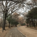 Photo story: The Ginkgo Trees of Seoul Forest