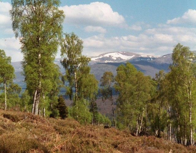 Birch forest scotland
