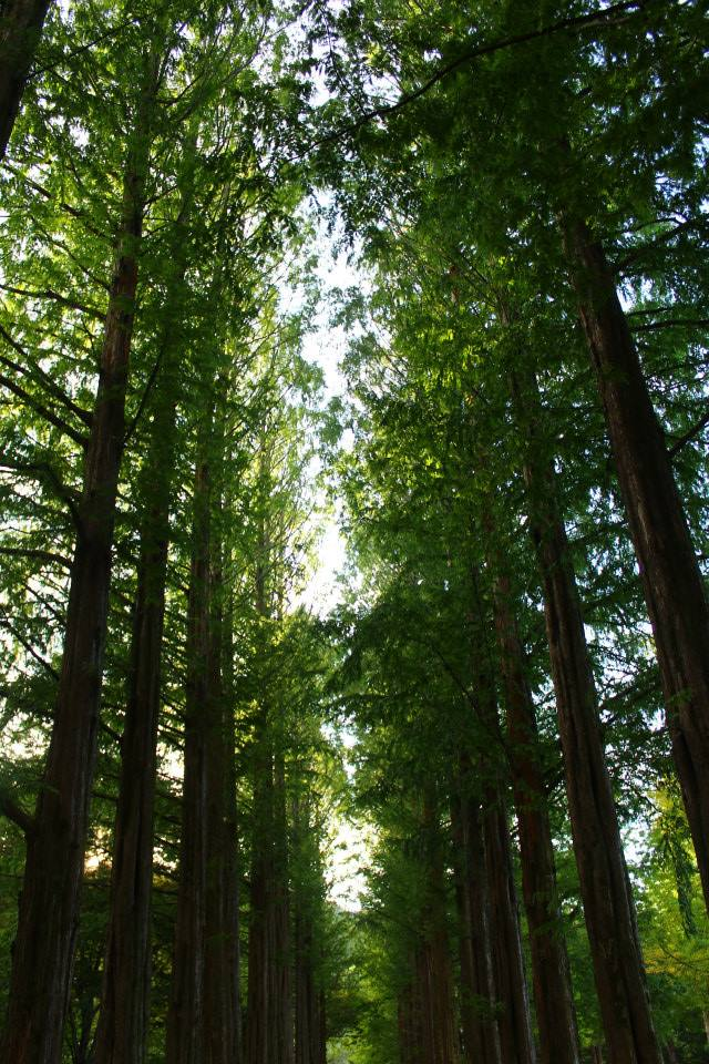 Nami Island trees autumn