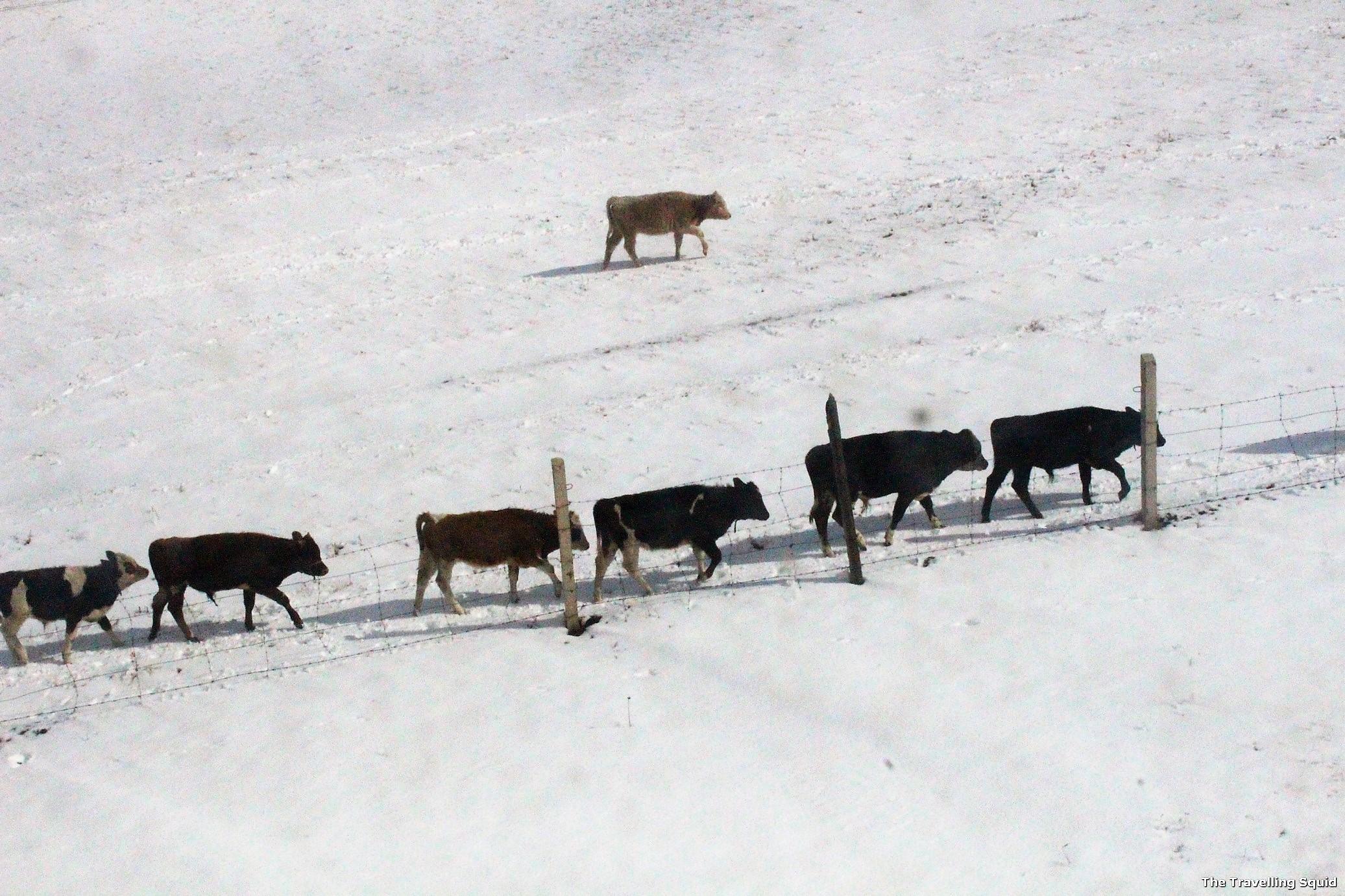 mongolia dogs trans siberian