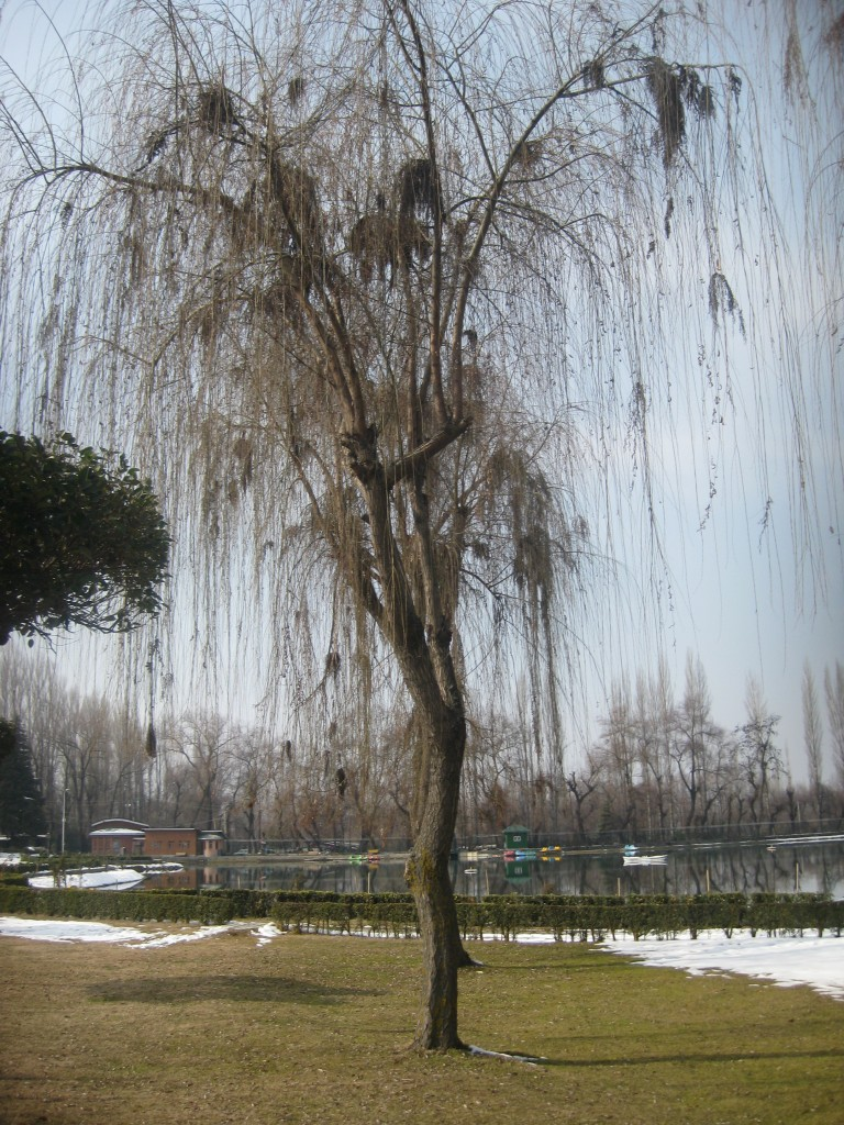 botanical gardens srinagar willow tree