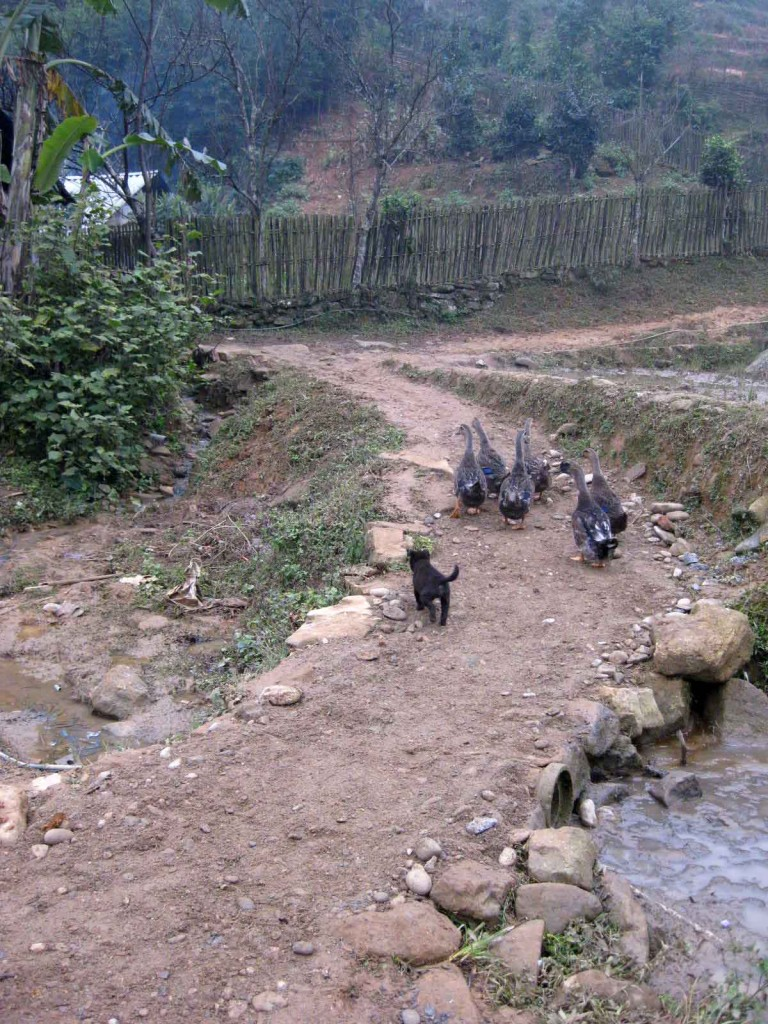 Sapa minority village farm animals