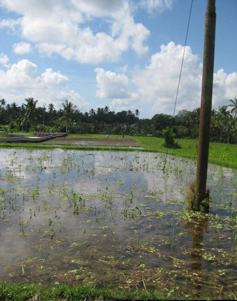 Rice paddy ubud bali trek