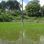 Photo Story – The rice plantations of Ubud Bali