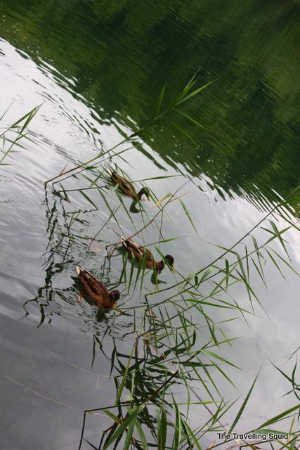 plitvice lakes duck family