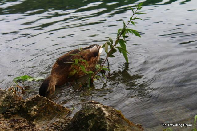 plitvice lakes ducks living