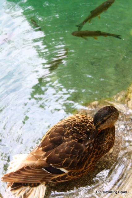 plitvice lakes ducks