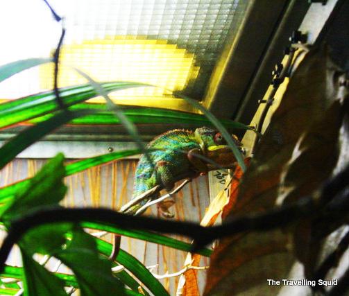 california academy of sciences osher rainforest lizard