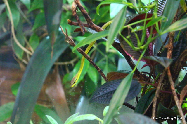 california academy of sciences osher rainforest tree snake