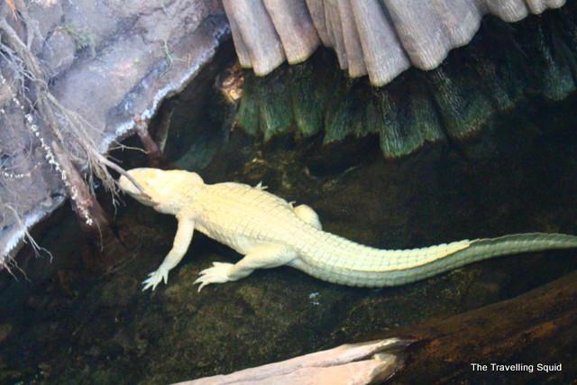 california academy of sciences claude albino alligator
