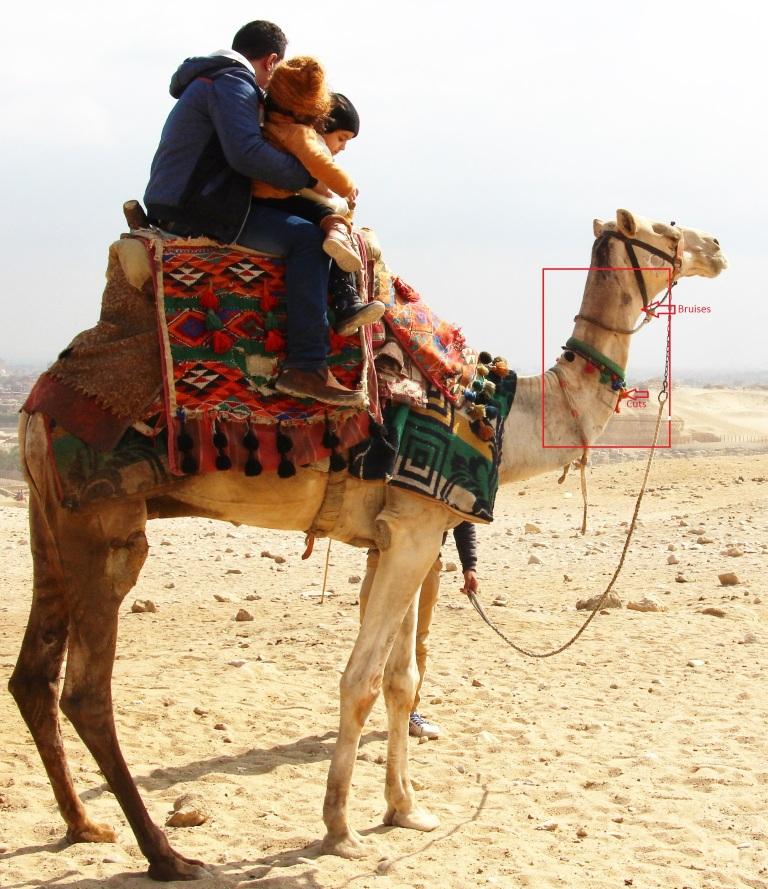 Ill treatment of camels at the Pyramids giza