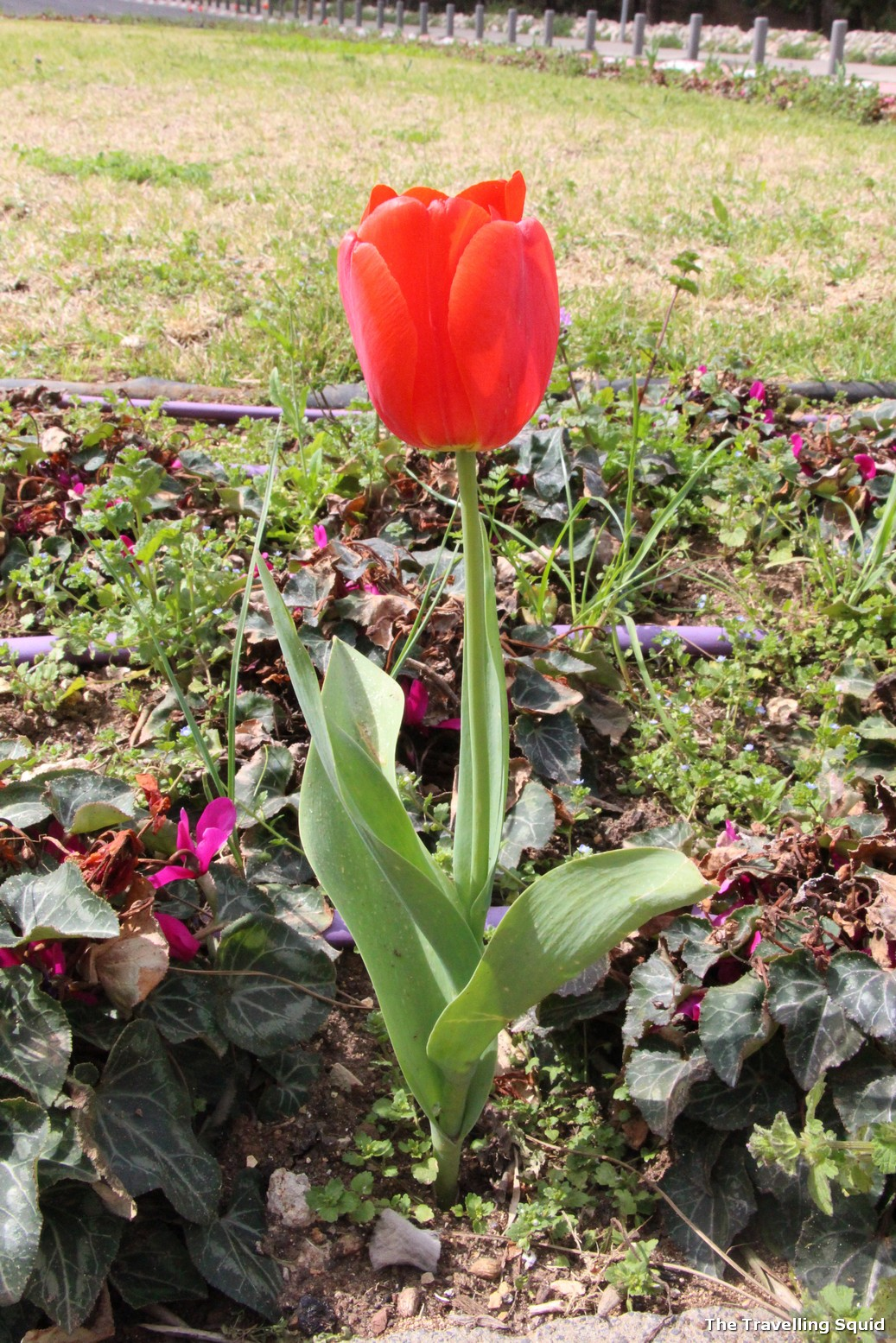 tulip Is Israel worth visiting