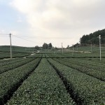 Is it worth buying tea from Osulloc in Jeju?