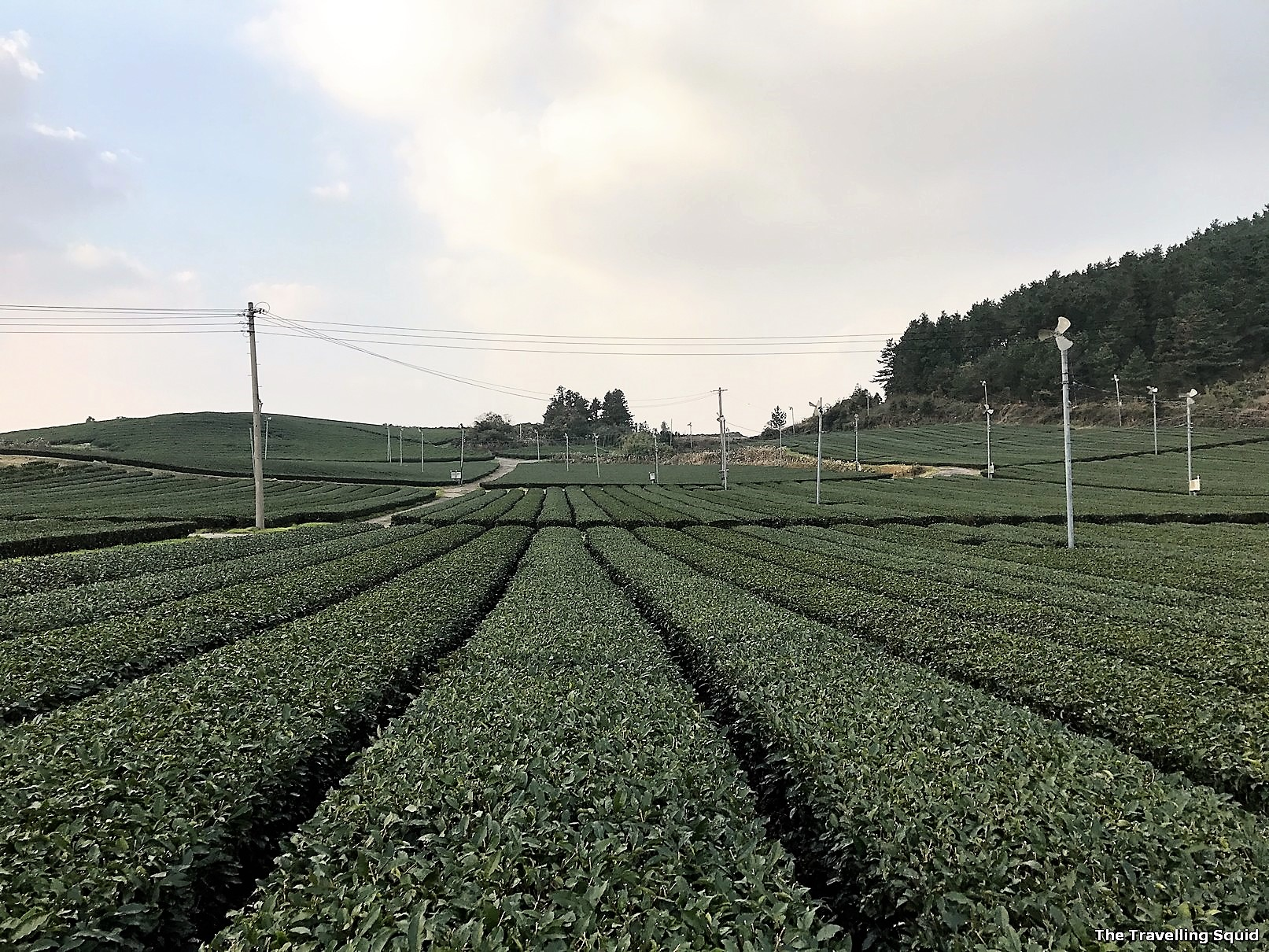 worth buying tea from Osulloc in jeju