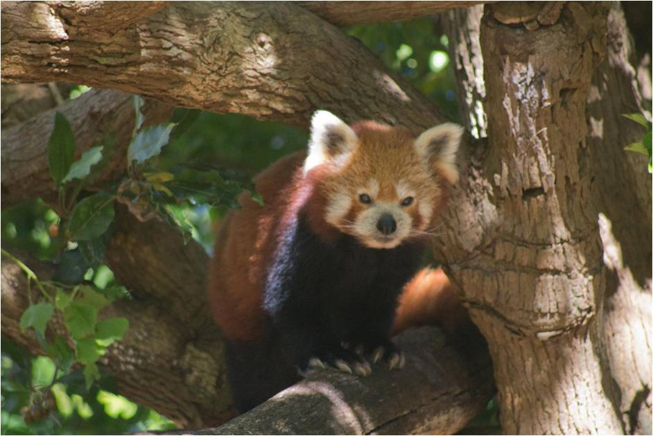 Red Panda at Symbio Wildlife Park