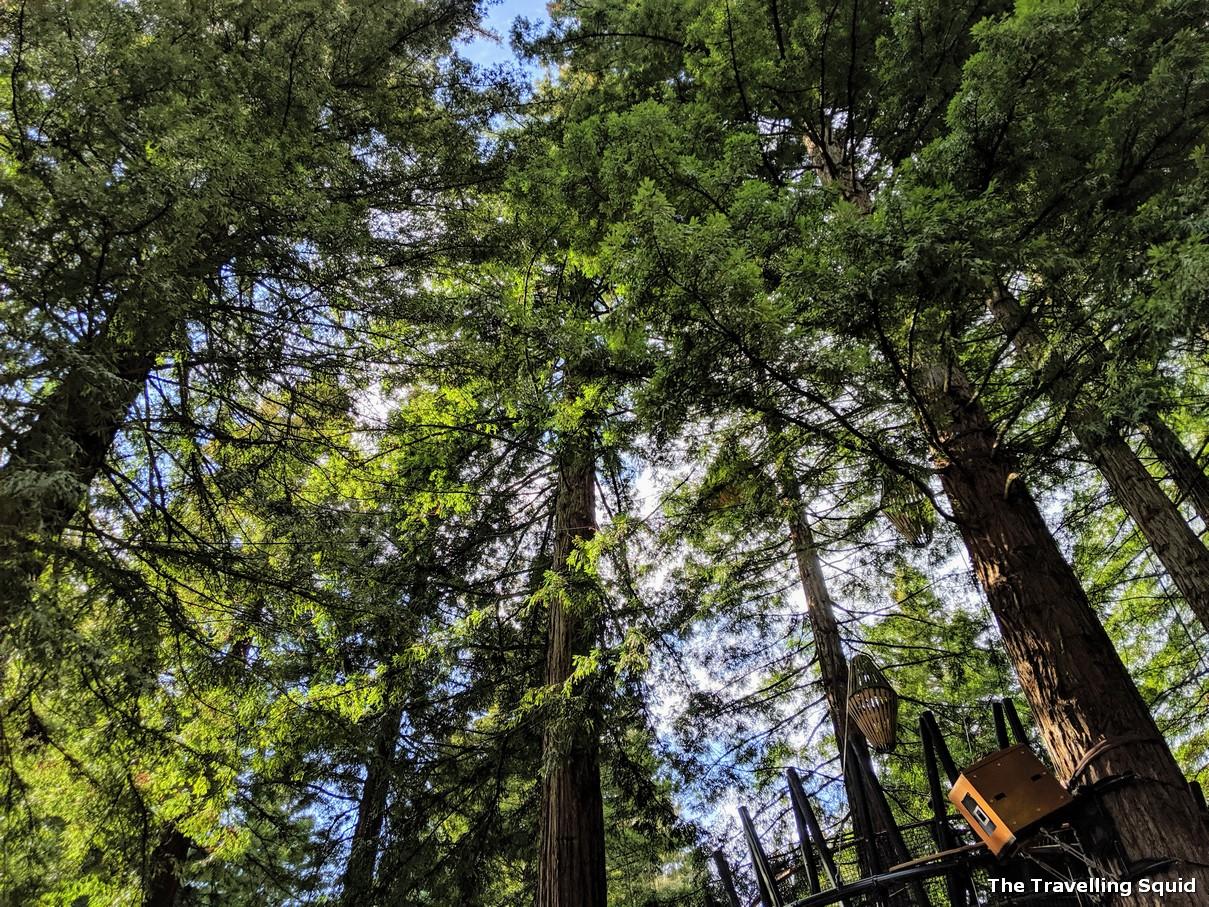 Redwoods and Whakarewarewa Forest in Rotorua