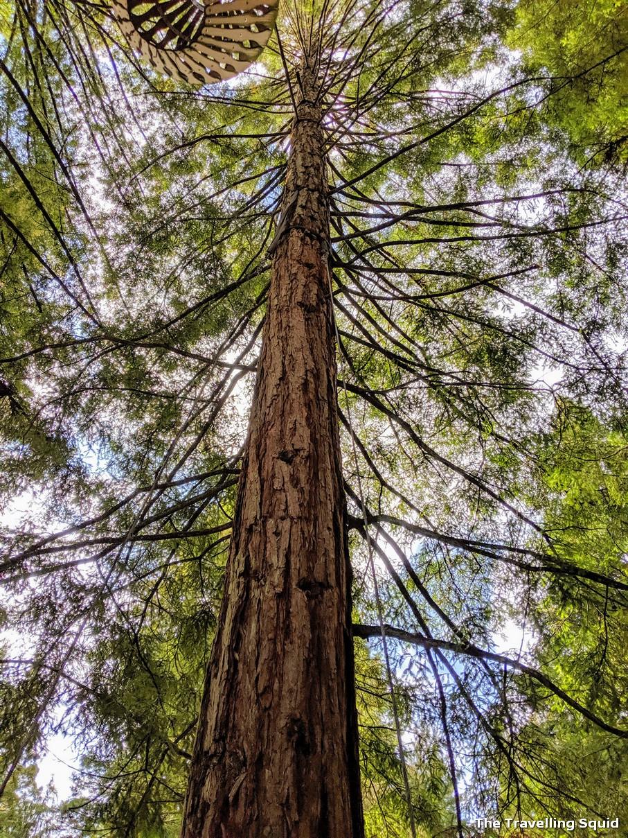 coastal redwoods rotorua new zealand