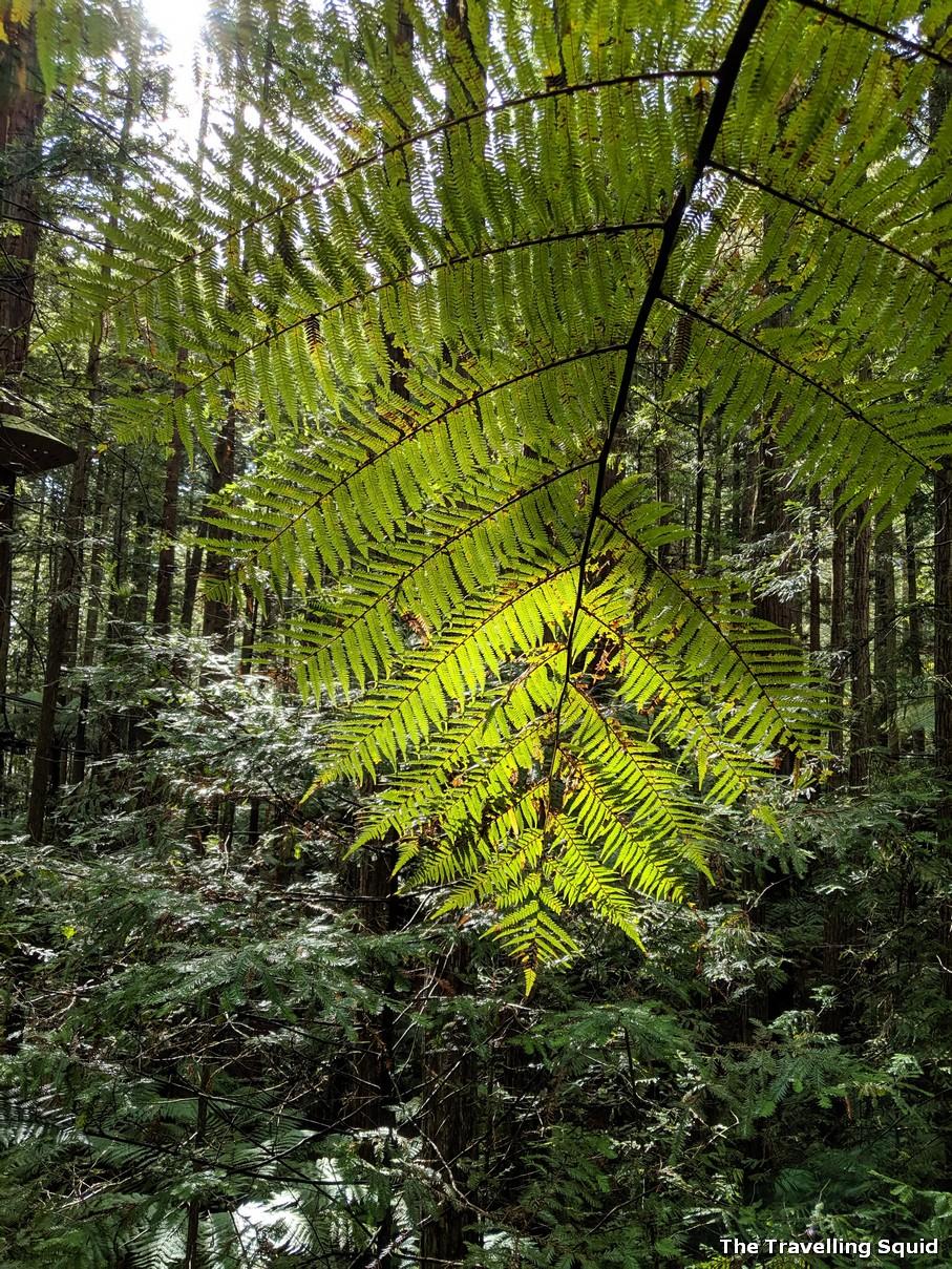 black tree fern rotorua