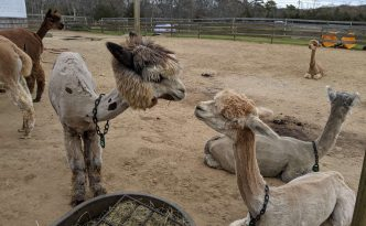 Marthas vineyard alpacas