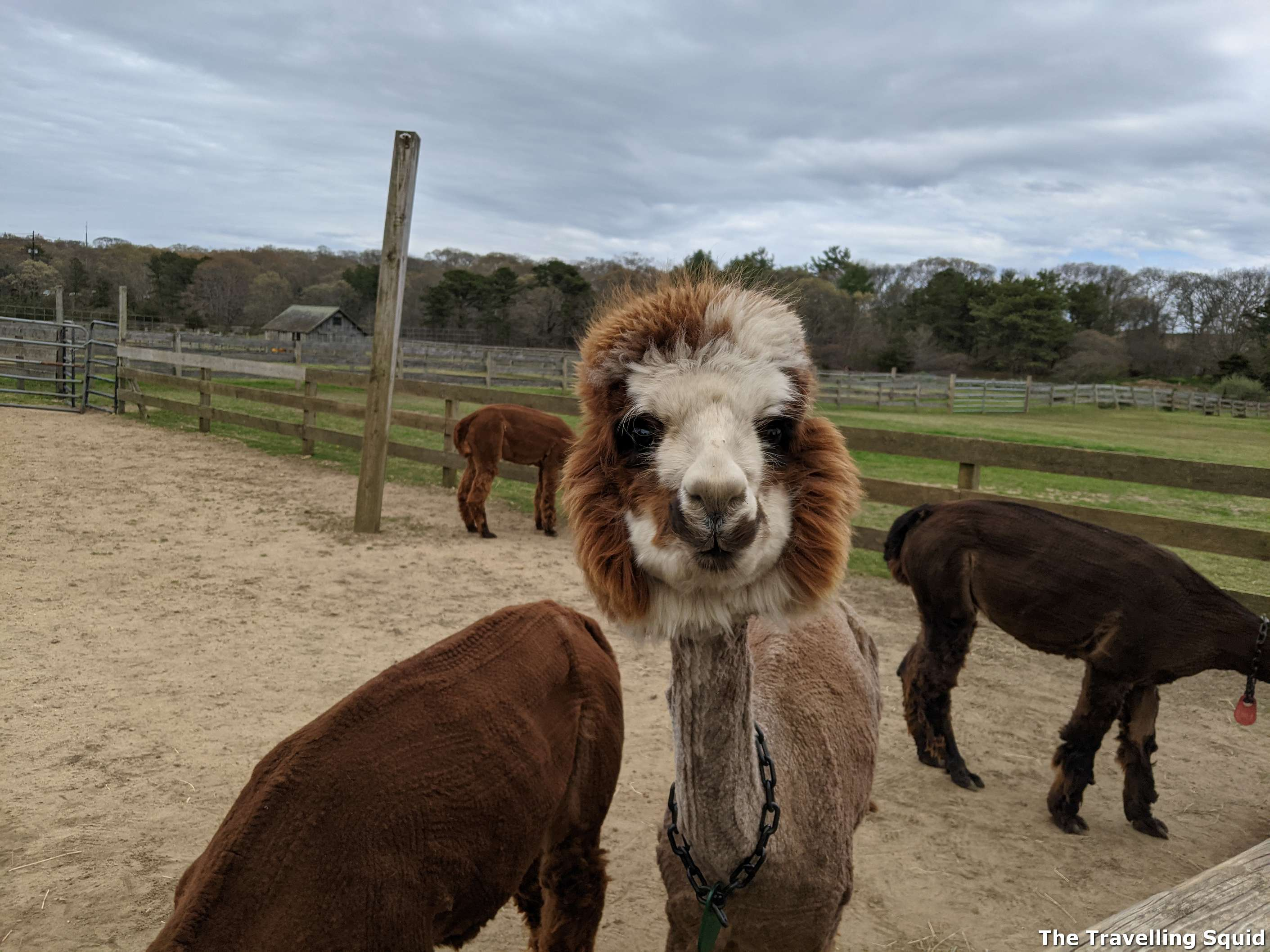 Island Alpaca Company marthas vineyard